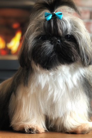 chien_shih_tzu_vip_reproduction_HULK_image2_description_page